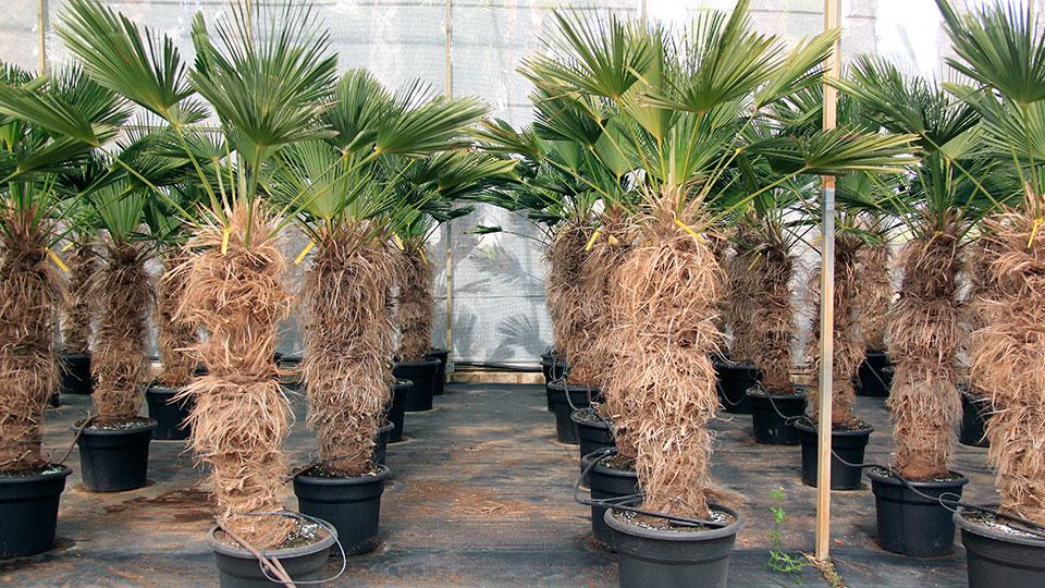 trachycarpus wagnerianus baumschule masia angela. Black Bedroom Furniture Sets. Home Design Ideas